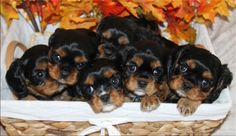 Black & Tan Cavalier King Charles Spaniel Puppies