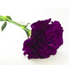 Carnation....I have never seen a purple carnation in my life.......It's so pretty
