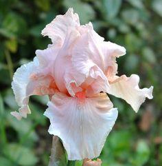 TB Iris germanica 'Flirtation Walk' (Blyth, 1975)