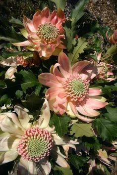 Waratah (Telopea speciosissma) 'Pink Passion'