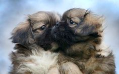 Tibetan spaniel pups