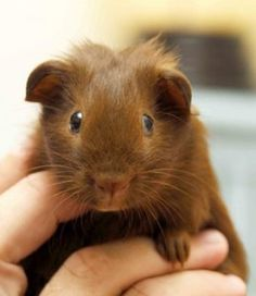 Guinea pigs communicate with each other through low pitch to high pitch noises, sounds and squeals. The type of squeal has a corresponding meaning and this article outlines the meanings. There are audio links also to listen to each type of guinea pig noise.