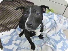 Fort Wayne, IN - Pit Bull Terrier Mix. Meet KYLEE, a dog for adoption. http://www.adoptapet.com/pet/17520833-fort-wayne-indiana-pit-bull-terrier-mix