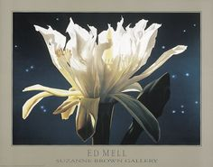 Night Blooming Cereus by Ed Mell - Art Print