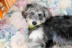 Siberpoo (Siberian Husky Poodle Mix) Info, Temperament, Puppies, Pictures