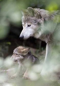 Nothing is more amazing than the wolf , fear, admire but above all PROTECT