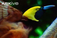 Raggiana bird of paradise male displaying to female