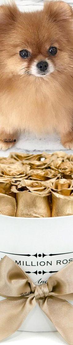 ❈Téa Tosh❈ Million Roses Million Roses, Box Roses, Dog Pin, Pomeranian, Cute Animals, Teddy Bear, Puppies, Heavenly, Bouquets