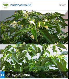 Sparkler chillies are flowering both plants are in #dnamills soil with #Plagron Alga grow as the base nutrition...added some #Flowerburst by buddhastree into the mix for the plant in top image,lost count of the amount of flower sites at 60   Credit - Trafford Hydroponics