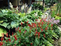 Woodland Pinkroot, Indian Pink, Spigelia marilandica. Grows 1-2' in height. Part Shade/ Shade. Native to Indiana.