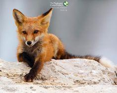 Fox pup near Racine, Wisconsin by Bonnie DeLap