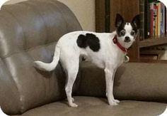 Weeki Wachee, FL - Rat Terrier/Chihuahua Mix. Meet Lucy, a dog for adoption. http://www.adoptapet.com/pet/13852092-weeki-wachee-florida-rat-terrier-mix