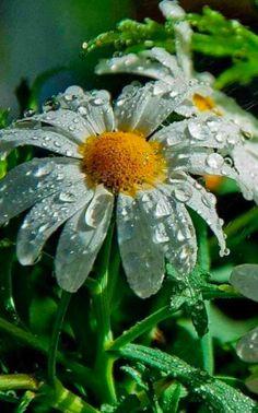 droplets on daisy.
