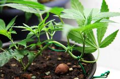 Low Stress training for your plant.