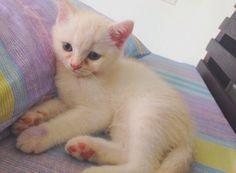 my cute kitten #cat #scottish