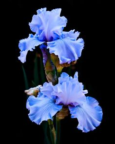 Flora Photograph - Blue Iris by Lynne Jenkins