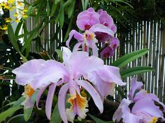 Orchids in Conservatory at Biltmore Estate.