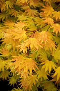'AUTUMN MOON' Japanese Maple - Acer Shirasawanum: 6' tall in 10 yrs. Zone 5-9.