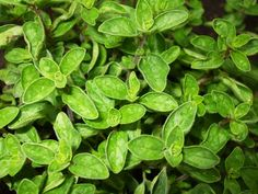 How to Grow Oregano--When flowers appear, oregano is ready to be harvested, unless continuous picking of leaves during growth prevents flowering. About six weeks after planting, trim oregano shoots to within one inch of the center which will stimulate lush, bushy growth.
