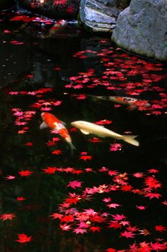 koi fish maple leaves