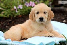 Bonny my dog so cute  #goldenretreiver