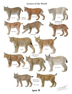 lynxes of the world