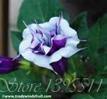 100pcs Bonsai flower Brugmansia Datura seeds Rare flower seeds Potted plants Home & Garden Free Shipping