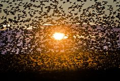 A large flock of starlings fly illuminated by the setting sun near Bacau, north eastern Romania, Tuesday, Dec. 10, 2013. Large numbers of starlings populate the vast cereal growing agricultural lands in eastern Romania, feeding on the seeds already laid in the ground. (Vadim Ghirda/AP)