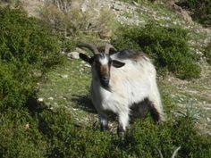 capra nel vento - Ziege im Wind - goat in the wind