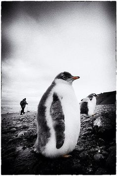 A fluffy friend I met at Brown Bluff, Antarctica. Antarctica, Penguins, Brown, Photography, Animals, Photograph, Animales, Animaux, Photo Shoot