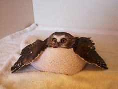 Owl In A Towl Is Melting