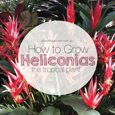 Want to have a garden that's the envy of your friends and neighbours? Or simply dazzle your visitors with your amazing indoor flower arrangements? Then you might like to grow a heliconia in your garden and create an exotic 'tropical' look. Heliconias, with their bold leaves and brilliant coloured flowers, are extraordinary tropical plants that can provide a fantastic focal point for your garden #garden #tropical #heliconia #australia #plant #aboutthegarden #grow #gardeningaustralia #searles