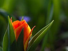 Fiery Tulips Blue Soul   Flickr – Compartilhamento de fotos!