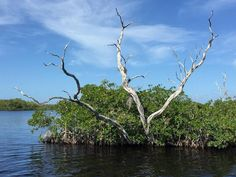 Scientists say mangroves, like this one in Hell's Bay in Everglades National Park, can help combat climate change by storing carbon. They put the value of that storage in the park alone at between $2 billion to $3.4 billion.