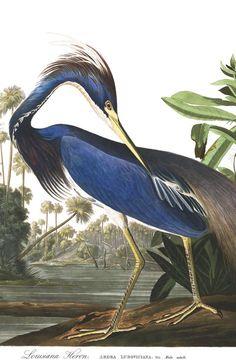 Louisiana Heron | Audubon