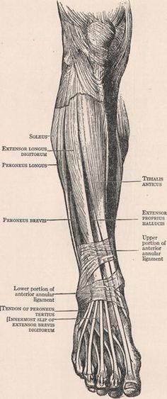 From A. M. Paterson, Cunningham's Text Book  FIG. 7. - Superficial Muscles on the Front of the Arm and Forearm.