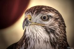 "Gavilán de cola roja (II) (Buteo jamaicensis) ""Red-Tailed Hawk"" by Abariltur, via Flickr"