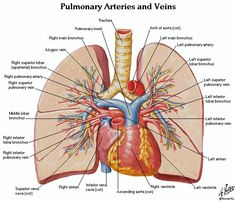 Pulmonary Arteries & Veins