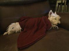 YUP!! Today was a good day! Good night friends! #westie #westhighlandwhiteterrier #westielove #westielife #westiegram #westietude #westiesofinstagram #dogs #dogoftheday #dogsofinstagram #doglovers #instagram #dogloversofinstagram #isabella #dogsofinstaworld #ilovemydog #pictureofheday #dogsareawesome #mydogisawesome #scottiesandwesties #proudwesties #instawestie #LittleLeosFeatures #whatpet #petsofinstaworld #westiemoments #lacyandpaws #jacksfeatures #goodnight #goodtimes by…