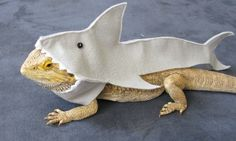 Shown on Discovery's Shark Week!!! Handmade Felt Bearded Dragon Great White Shark Costume with FREE Bow! by PamperedBeardies on Etsy