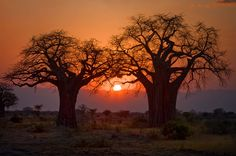 Baobabbäume im Sonnenuntergang von Michael H. Voß