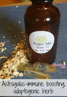 Astragalus is an immune boosting, adaptogenic herb that can support your body during times of stress and help reduce the severity of infections.  Learn more here and make a tincture for your own. The Homesteading Hippy #homesteadhippy #herbs #fromthefarm #tincture