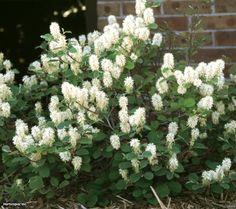 2-Dwarf Fothergilla (Fothergilla gardenii)