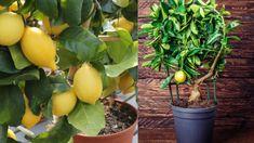 Citronträd – så odlar du citron hemma | Mitt kök Guide, Gardening, Plants, Inspiration, Biblical Inspiration, Lawn And Garden, Plant, Planting, Planets