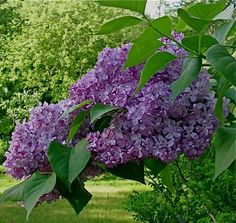 i will always think about my little sister sticking two, what looked like sticks in the ground in virginia at our farm.i laughed but actually the joke was on me she had a green thumb and those two twigs turned into a beautiful lilac bush the other a graceful weeping willow tree. love them both.probably still growing bigger as the years past.they added much southern charm to the property too!