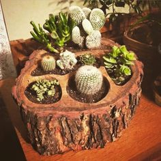 """saichedelica: """"Handcrafted Tree Branch Multi-Pot Planter (Live Oak w/Bark) I just purchased one of these are beautiful planters. Succulent Planter Diy, Succulent Gardening, Cacti And Succulents, Cactus Plants, Planter Pots, Ideas Para Decorar Jardines, Growing Greens, House Plants Decor, Cactus Y Suculentas"""