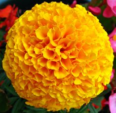 Marigold is well known as a remedy for burns, cuts, insect bites and bruises. Marigold flowers are u Large Flowers, Fresh Flowers, Yellow Flowers, Unusual Flowers, Marigold Flower, Beautiful Flowers Wallpapers, My Secret Garden, Secret Gardens, Garden Pests