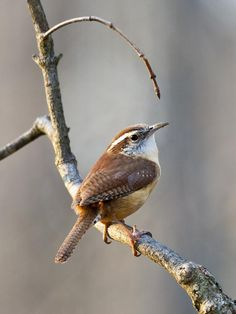 Carolina Wren, USA