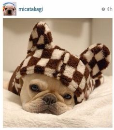 Micatakagi, Adorable French Bulldog.