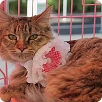 Maine Coon Kitten for adoption in Pasadena, California - PRUDENCE. Bonded with her brother Percy.